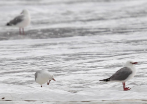 County cricket Match Abandoned After Seagulls Cause Damage