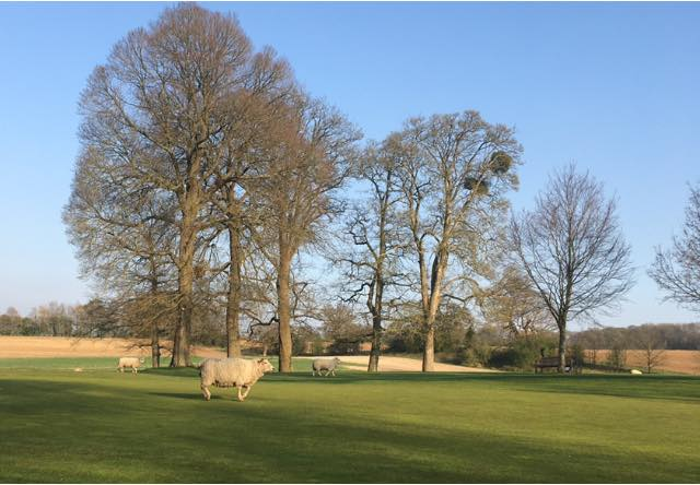 Sheep taking over golf courses