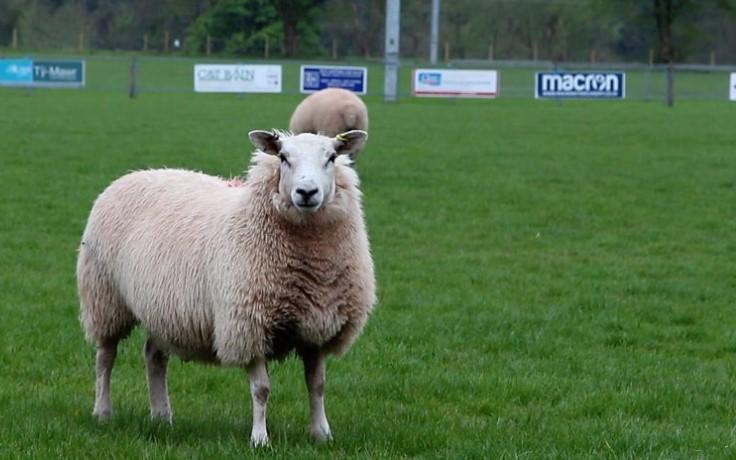 Sheep take over groundsman duties