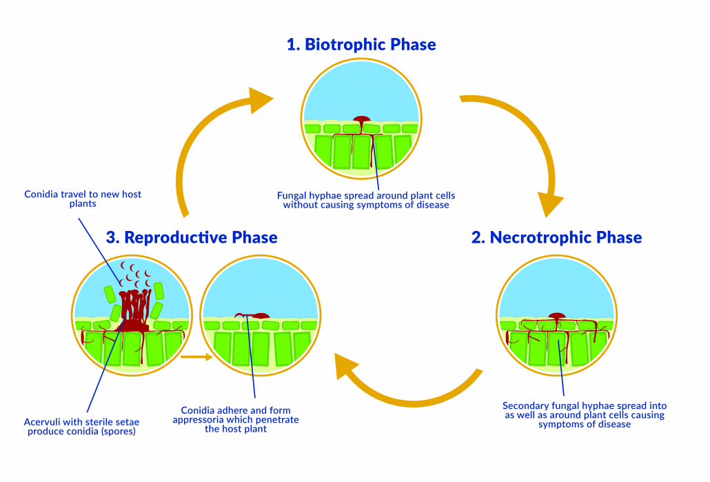 Simplified lifecycle of Colletotrichum cereale, the anthracnose pathogen that affects turfgrass.